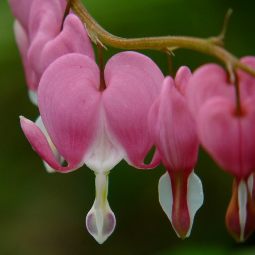 Bleeding hearts | by Dendroica cerulea