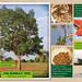 The bombax tree