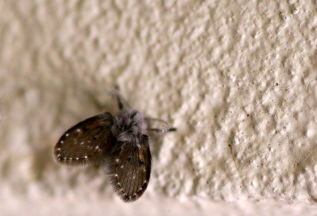 drain fly tiny moth like thing we get these tiny little flickr. Black Bedroom Furniture Sets. Home Design Ideas