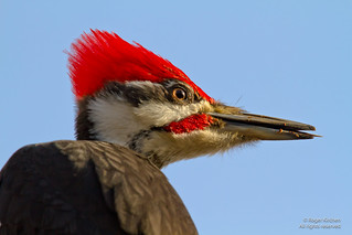 Pileated Woodpecker (Male) Portrait [Explore] | by Roger Kirchen