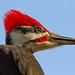 Pileated Woodpecker (Male) Portrait [Explore]