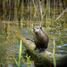 Otter spotted in the wetlands waters