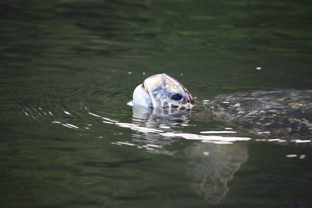 Black Turtle Cove Gal Pagos Green Turtle Chelonia Mydas