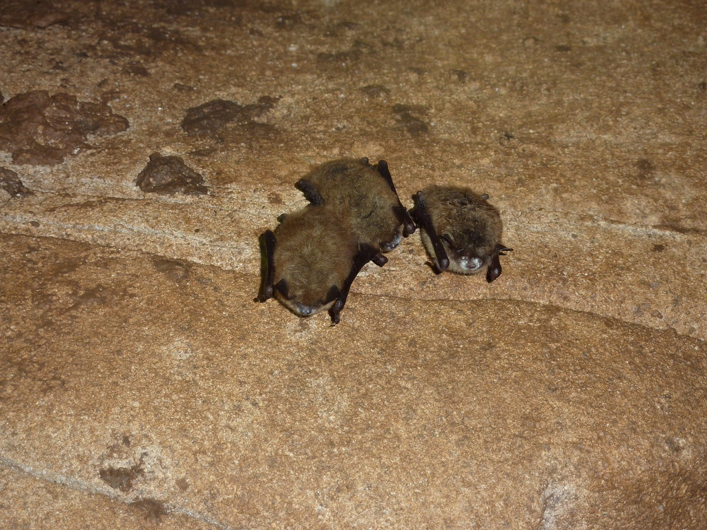 Little brown bats with white nose syndrome trigg co ky for Ky fish and wildlife jobs