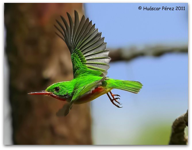 Broad Billed Tody Barrancoli / Broad-billed Tody