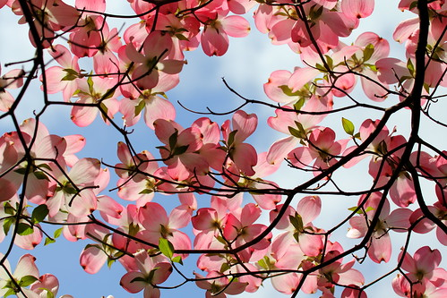 Pink Flowering Tree at Woodend | by Mr.TinDC