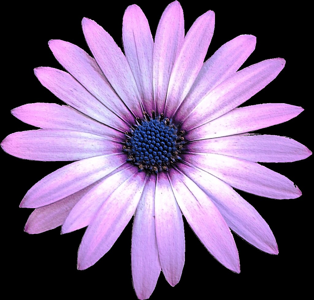 Purple Daisy Flower: Purple Daisy Flower Clipart, 15cm Embossed