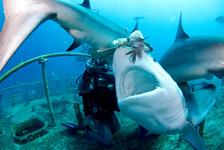 Joi feeding Carribean reef shark | by Joi