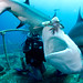 Joi feeding Carribean reef shark