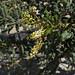 Frankincense flowers, wadi Dawkah - Oman