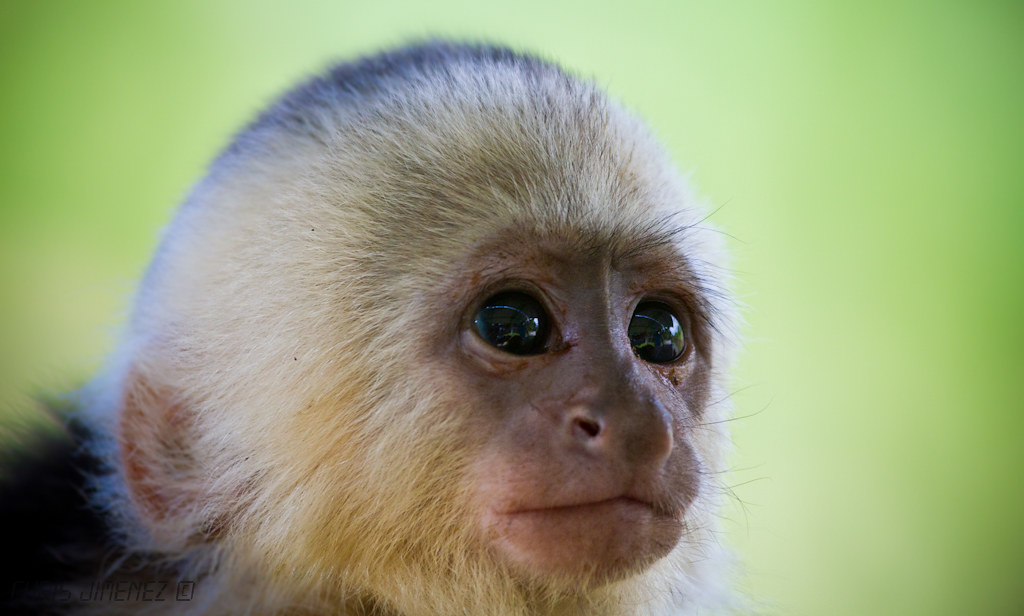 White Faced Capuchin Baby White-faced Capuchin