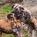 Fighting African wild dogs