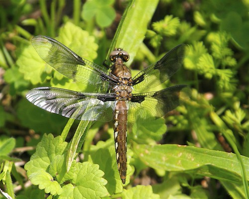 A young dragonfly perches on a leaf.