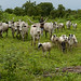 Shepherding in Ta Kuti village