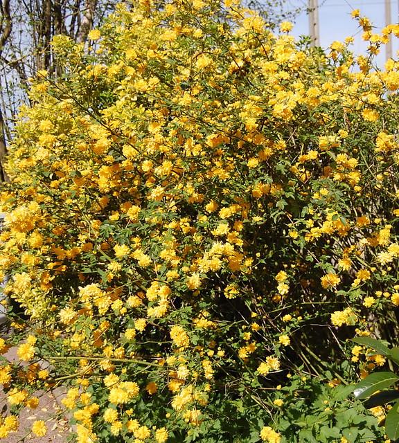 Autre arbuste fleurs jaunes flickr photo sharing - Arbuste a fleurs jaunes ...