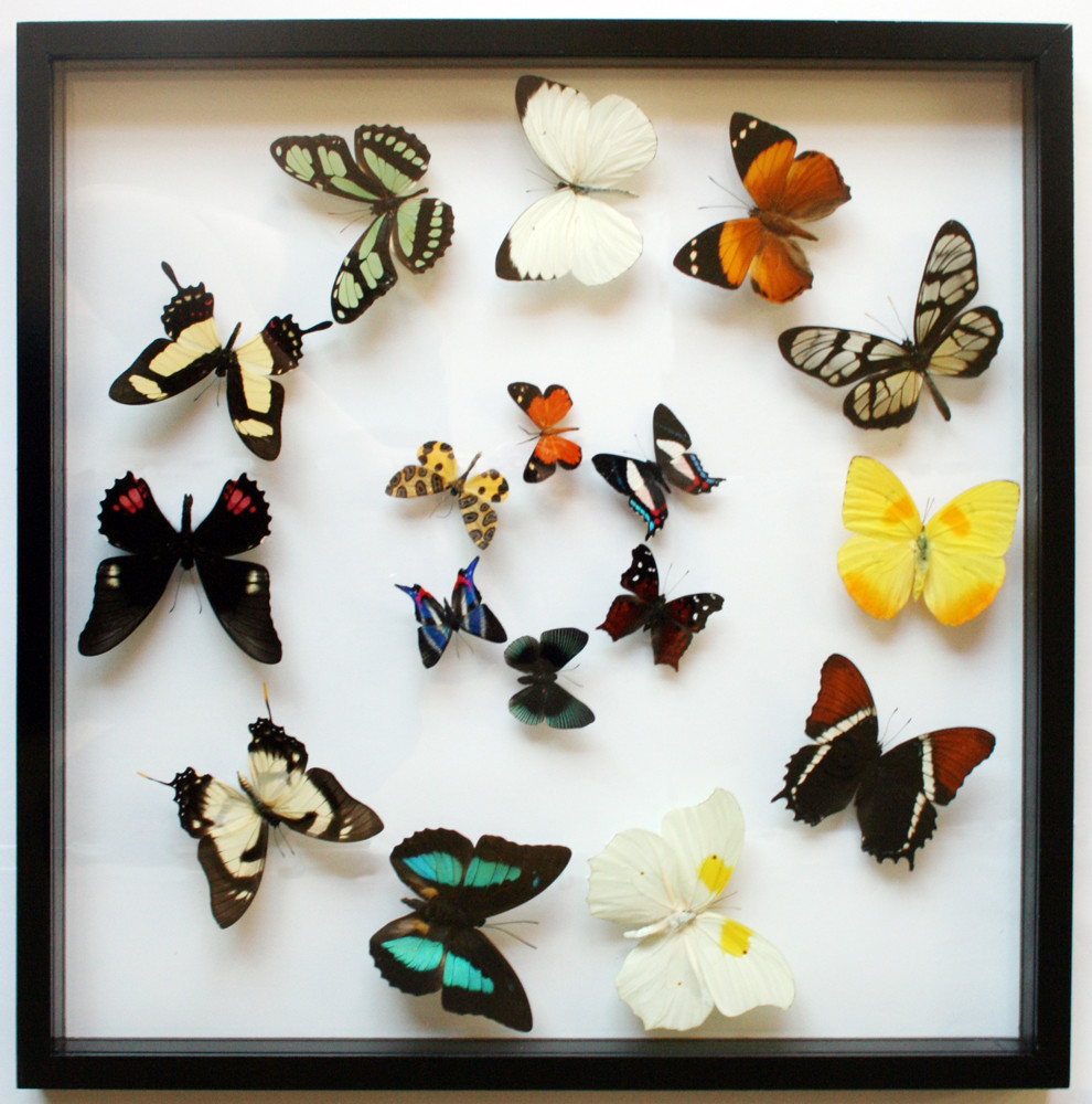 Real framed butterfly gift collection in black display for Real art for sale