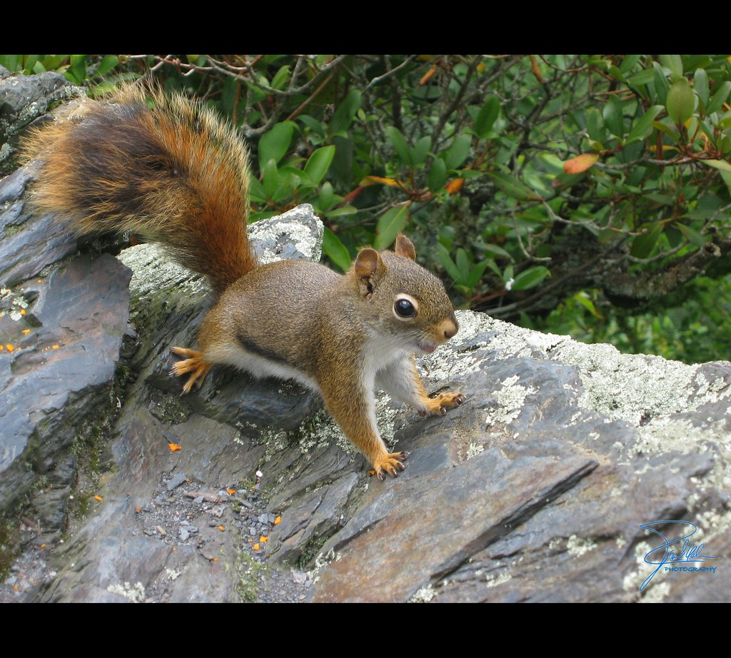 Nutcracker squirrel inspiration point on alum cave bluff flickr Nutcracker squirrel