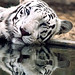Protecting Our Wildlife: the White Tiger