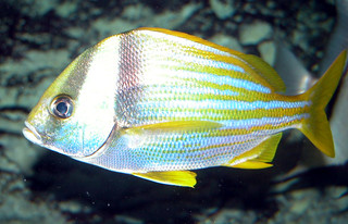 Adult porkfish | by keywest aquarium