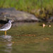 Greater Yellowlegs Sandpiper
