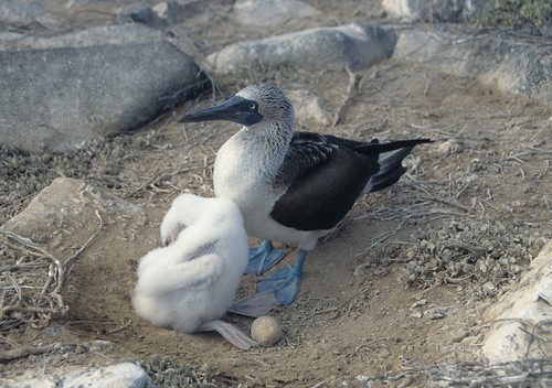 Blue-footed Booby (Sula nebouxii), Galápagos Islands, Ecuador - adult with chick and eggs | by Derek Keats