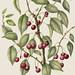 Prunus cerasus 'Montmorency' 2010