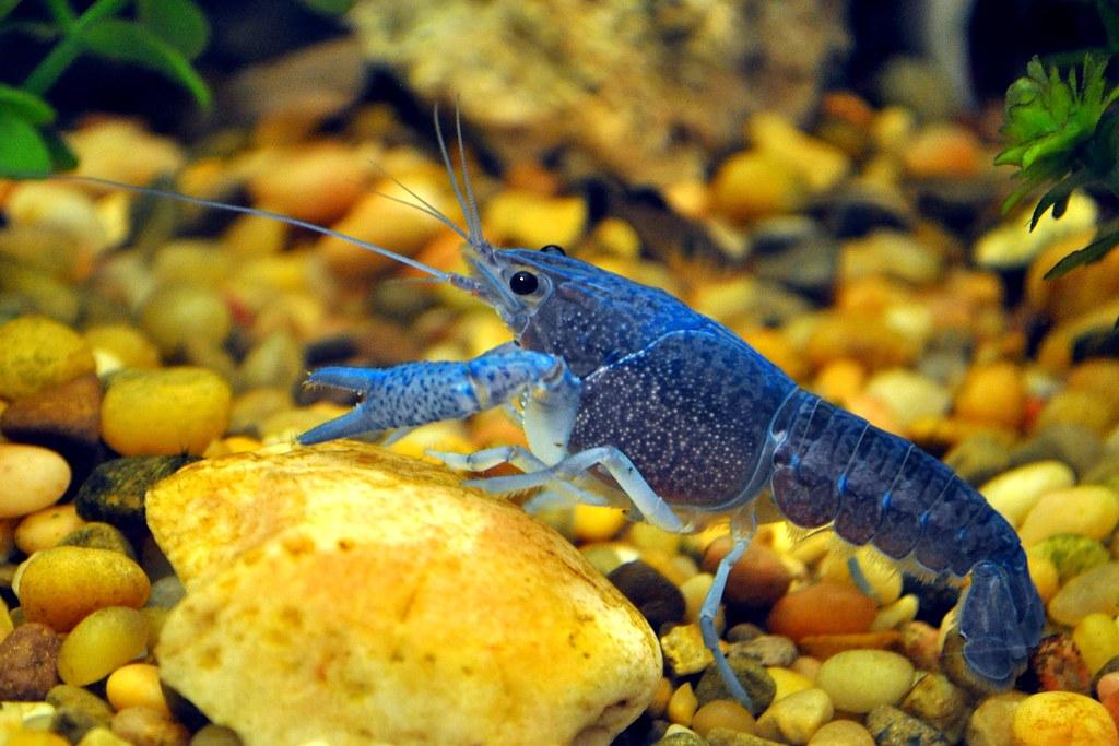 Lobster Underwater Underwater with...