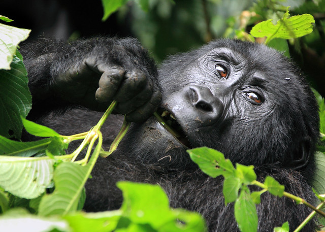 Gorillas Eating Wild mountain gorilla eating
