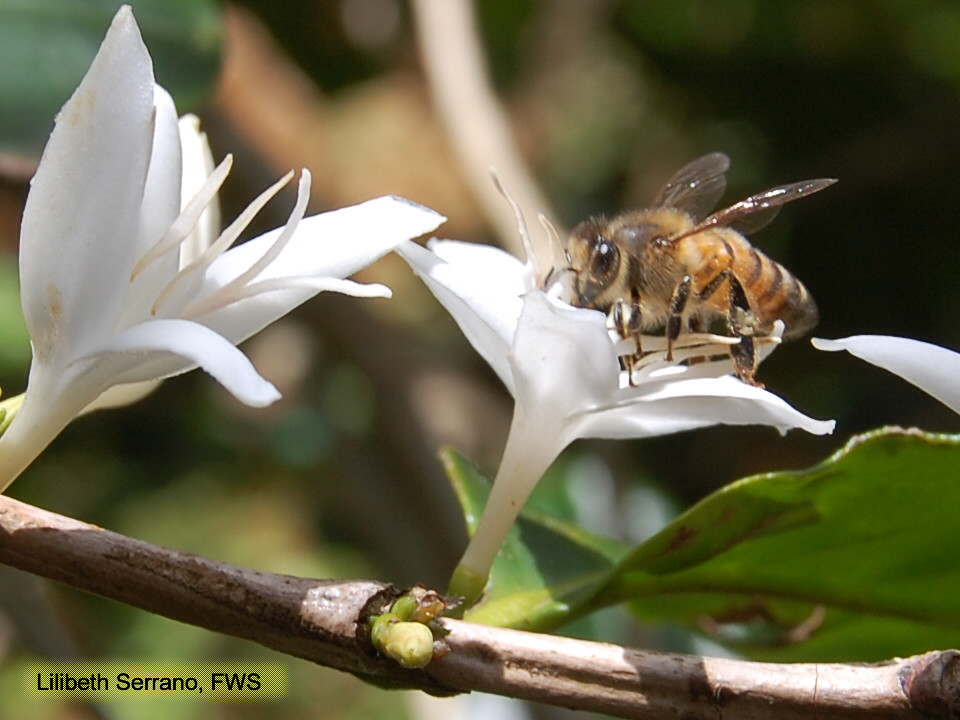 Coffee flower and bee   April 25, 2011-Maricao, Puerto ...