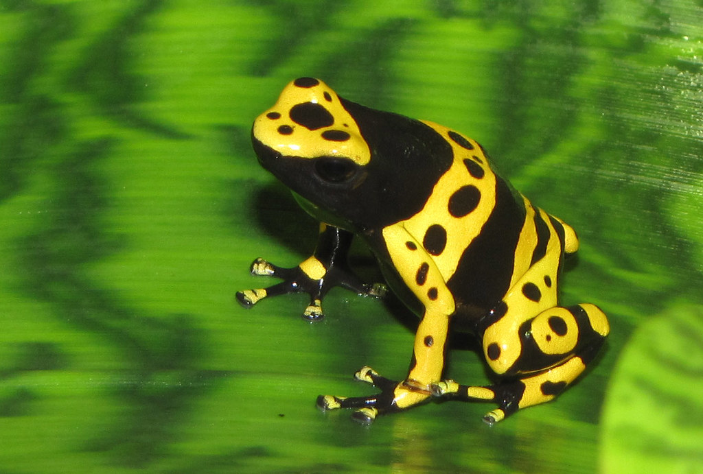 Yellow-banded poison d...