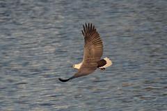 Male Sea-eagle, 18th May