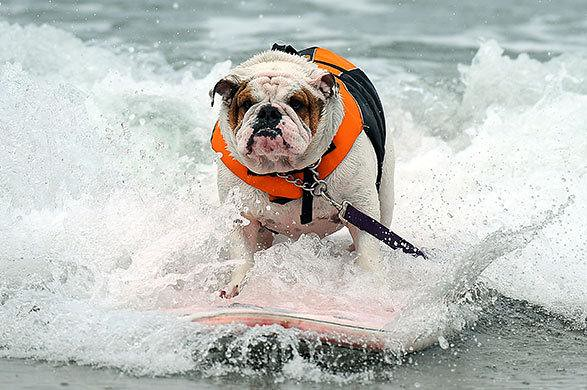 bulldog surfer surfing bulldog a dog competes during the 5th annual