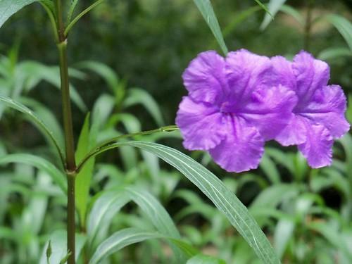 Purple flowering shrub flickr photo sharing for Purple flowering shrubs identification
