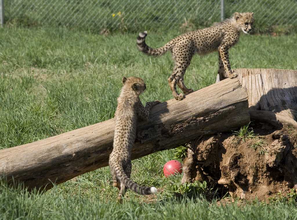 national zoo 39 s cheetah cubs april two cheetah cubs a mal flickr. Black Bedroom Furniture Sets. Home Design Ideas