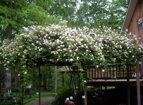 cecile brunner rose on my deck | by skblanks