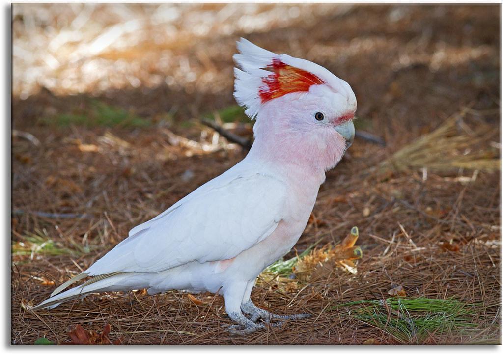 major mitchells cockatoo pink cockatoo one of the