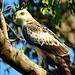 Crested Hawk Eagle - Yala National Park