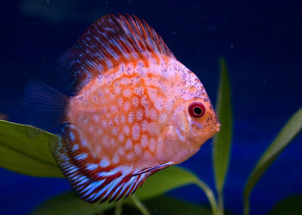 Pigeon blood discus discus are species of fish from the for White fish types