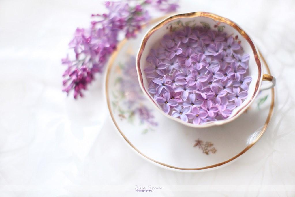 beautiful lilac   Julia Sysoeva   Flickr