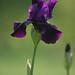 purple iris 11