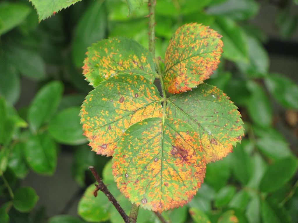 Rose rust disease roseraie du val de marne roseraie de for Ruggine delle rose