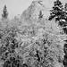 Oaks and Granite, Yosemite Valley