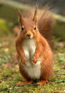 Mummy Red Squirrel (Explored) | by S Wilson (was S Hutchinson)