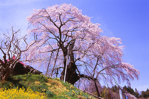 Cherry blossom in Fukushima #2 | by Purple Field