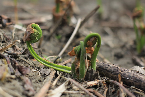 Fiddleheads-the shoot of an ostrich fern by Forest Farming