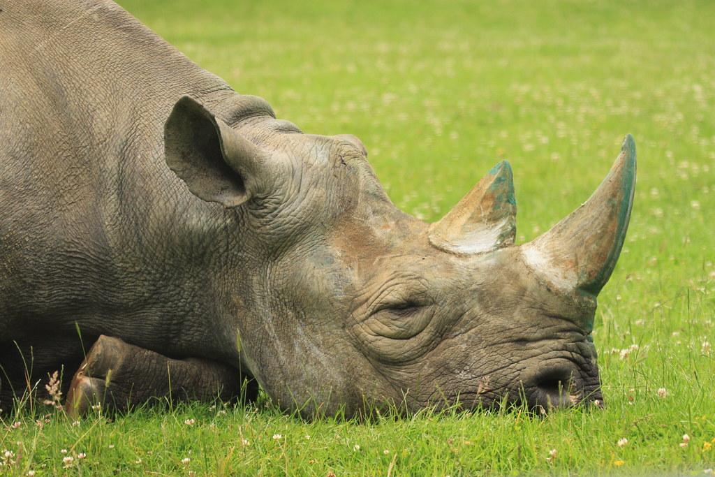 Rhinos, Save the rhino and Baby rhino on Pinterest