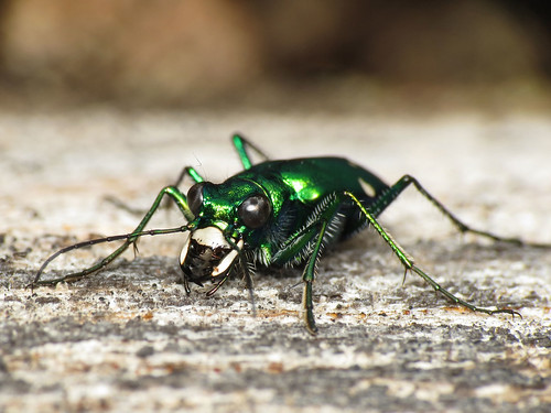 Six-spotted Tiger Beetle Showing Off Mandibles | by treegrow