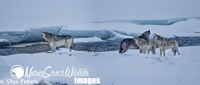 Gray wolf pack howling - photo#28