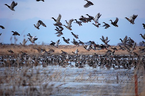 Mallards in the South Platte Area | by USFWS Mountain Prairie