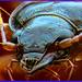 Nebria bonellei - Ground Beetle